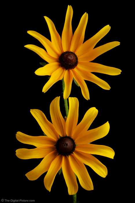 Pair of Black-Eyed Susans