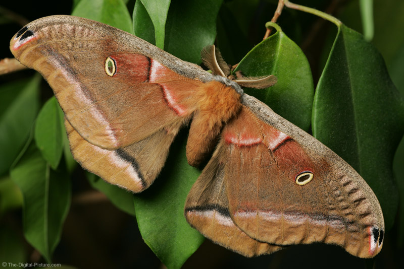 Polyphemus Moth at Rest Picture