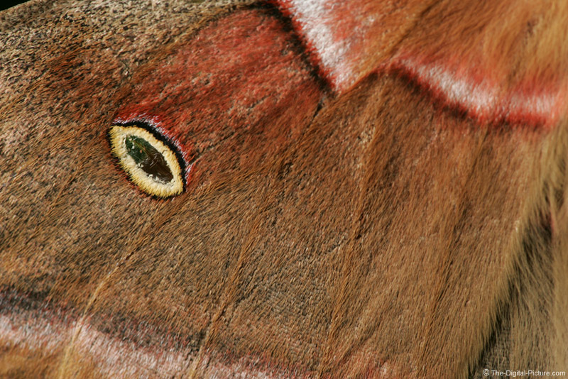 Polyphemus Moth Wing Picture