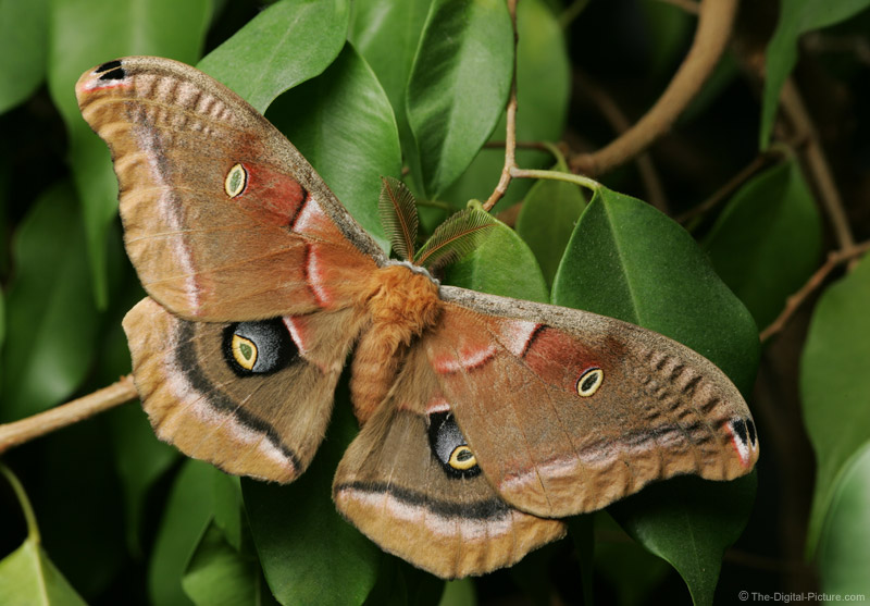 Polyphemus Moth Picture