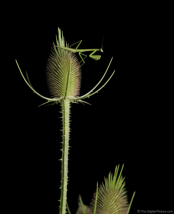 Praying Mantis Picture