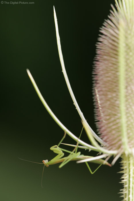 Praying Mantis Hunting Picture