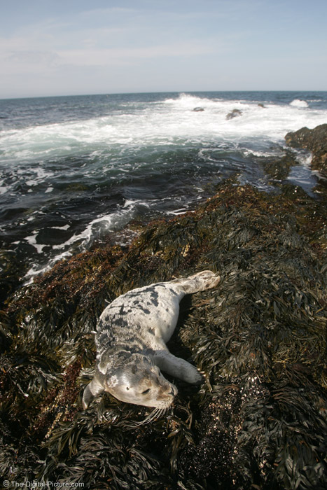 Maine Harbor Seal Picture