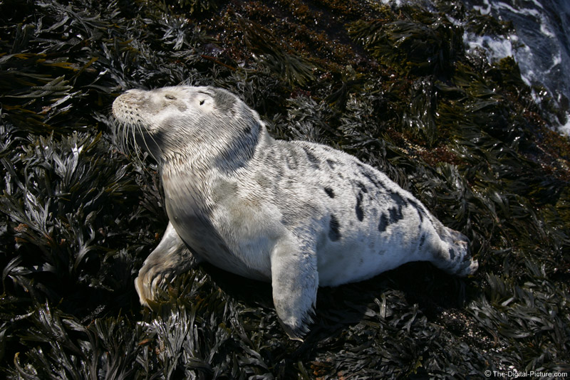 Sleeping Harbor Seal Picture