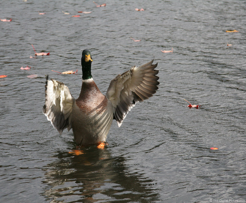 Mallard Duck Take Off Picture