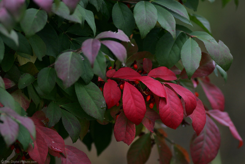 Burning Bush Picture