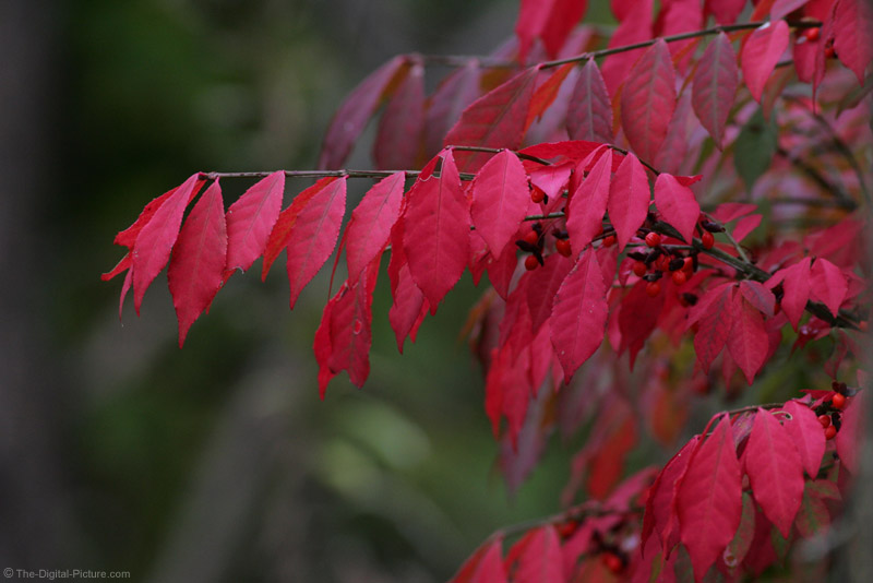 Red Leaves Picture