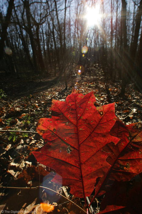 Leaf and Lens Flare Picture