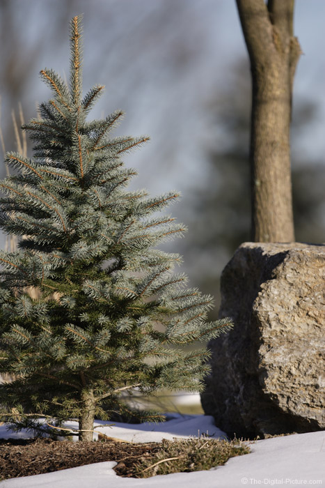 Spruce Tree and Rock Picture (f/2.8)