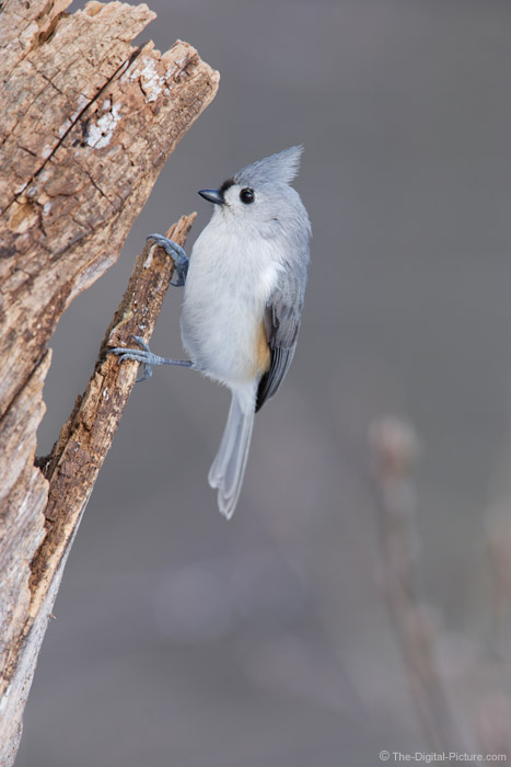 Tufted Titmouse on Dead Tree Picture