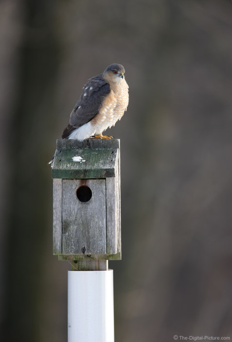 Sharp-Shinned Hawk Resting Picture