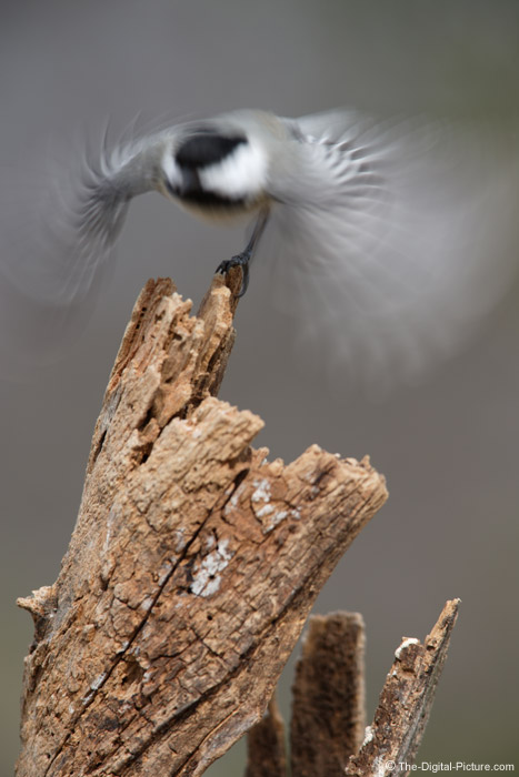 Black-Capped Chickadee Launching