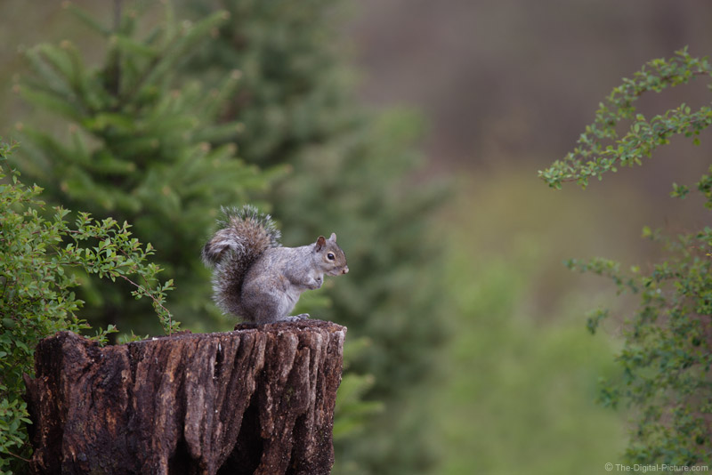 Alert Squirrel Picture