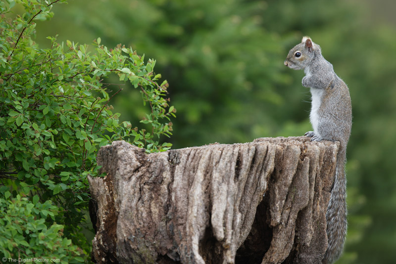 Gray Squirrel Standing on Stump Picture
