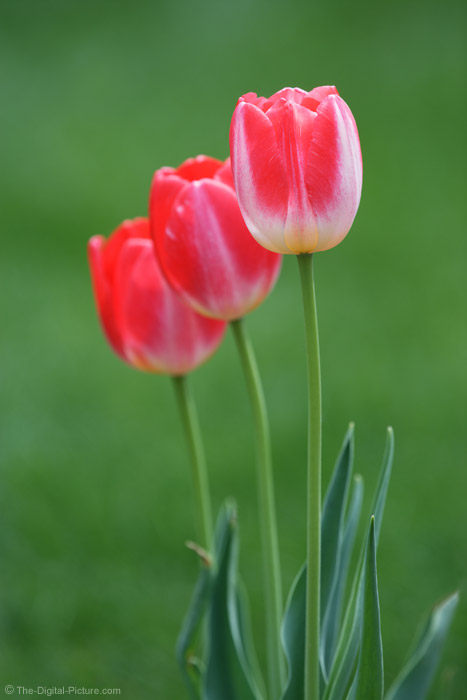 Tulip Trio Picture