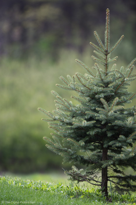 Spruce Tree Picture
