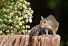 Squirrel on Stump Picture
