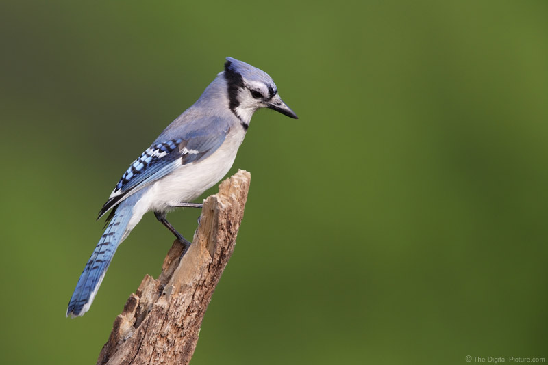 Blue Jay in Sun Picture