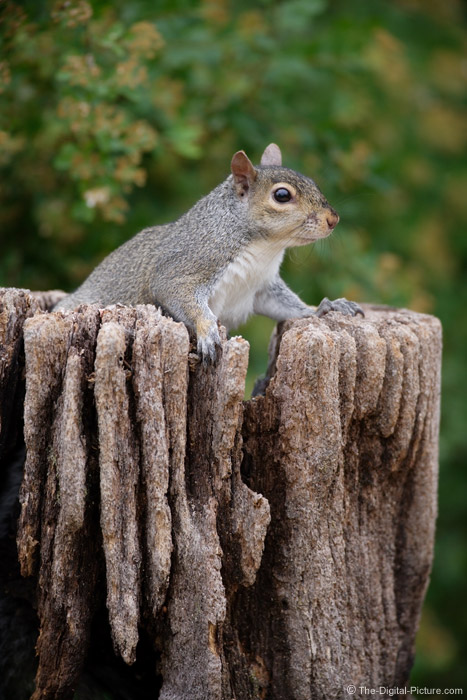 Gray Squirrel Picture 2