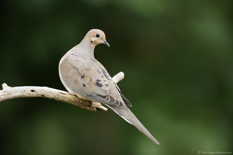 Mourning Dove Picture 2