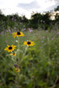 Black-Eyed Susan Landscape Picture