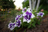 Varigated Petunia Picture