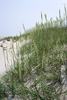 Sea Oats Picture