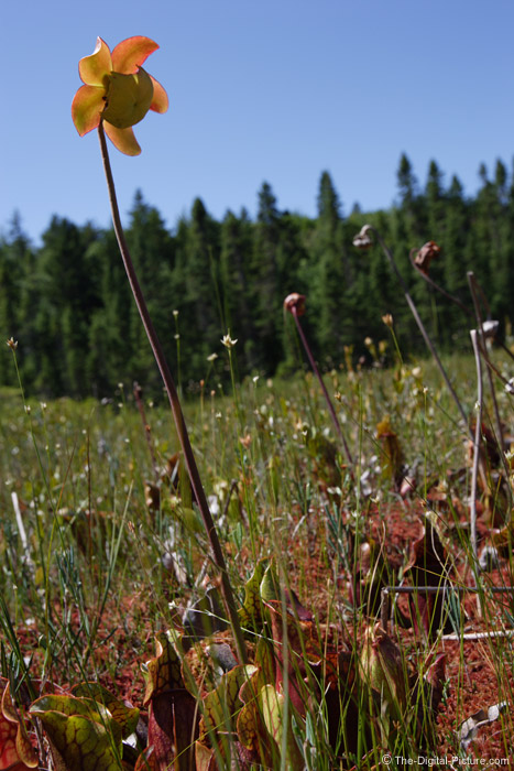 Pitcher Plant Picture