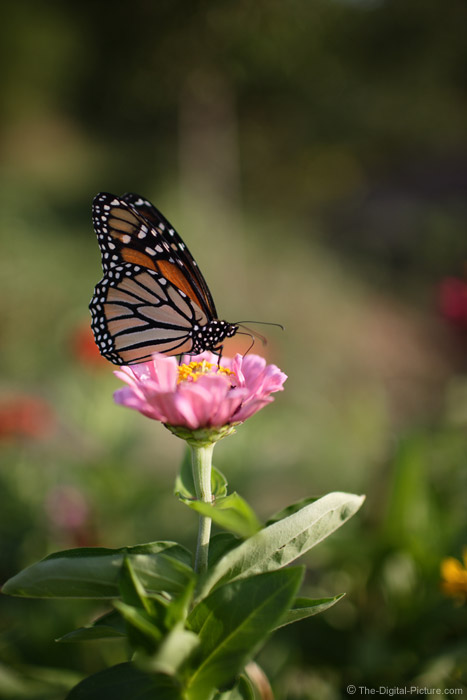 Monarch Butterfly on Pink Zinnia Picture