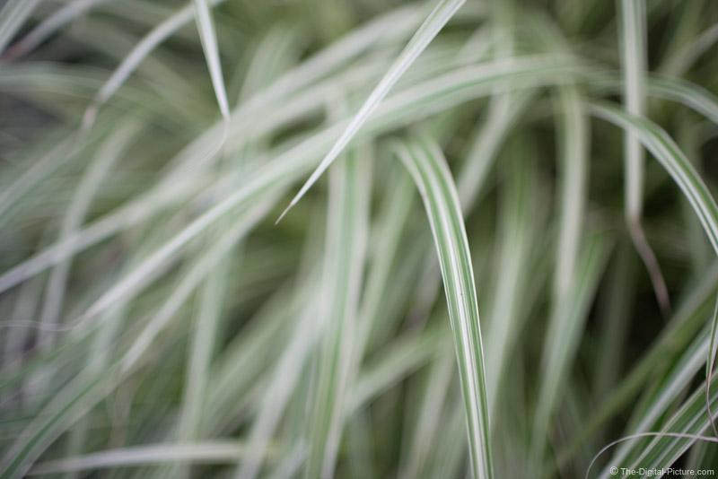 Varigated Maiden Grass Picture