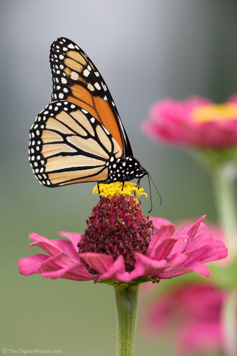 Monarch Butterfly Feeding Picture