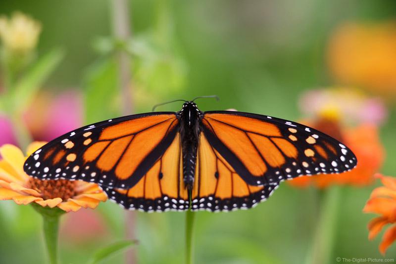 Monarch Butterfly 5