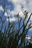 Pompas Grass Picture