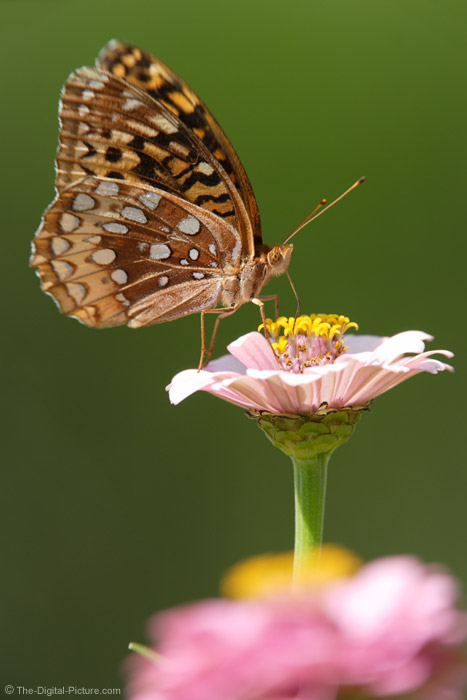 Great Spangled Fritillary Butterfly Picture