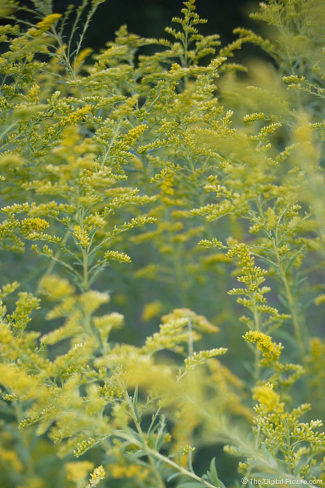 Goldenrod Picture