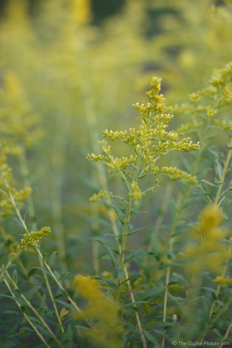 Yellow Goldenrod