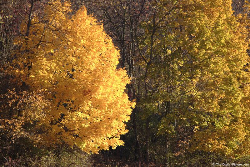 Fall Pennsylvania Maple Tree Picture