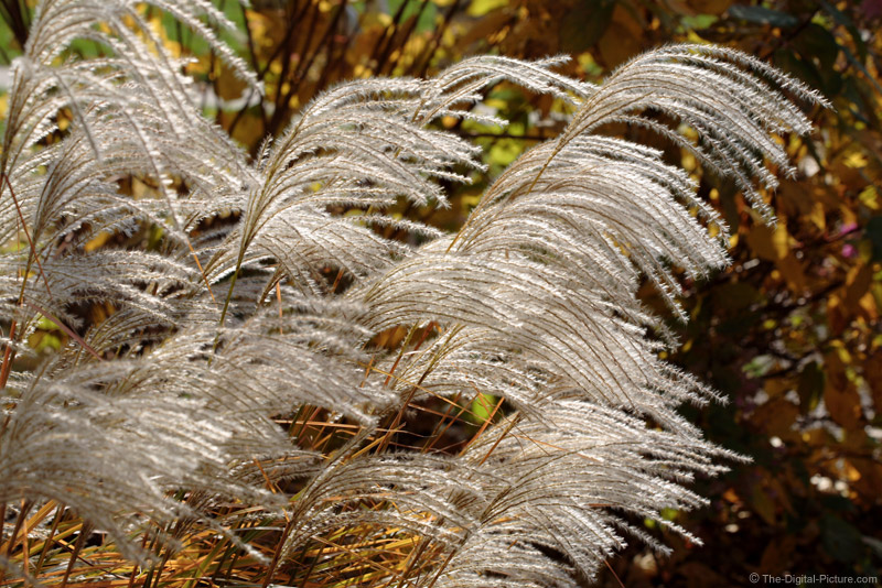 Maiden Grass Plumes in Sunlight Picture