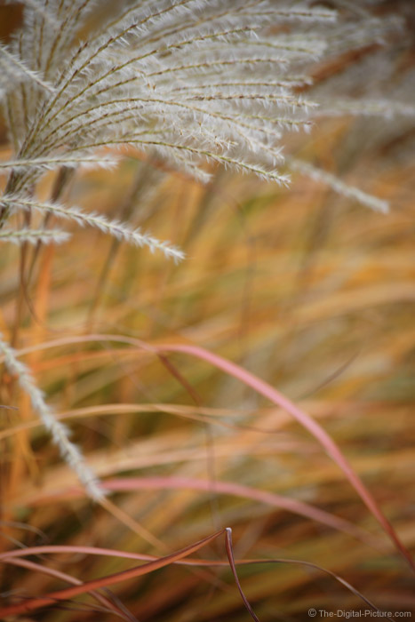 Maiden Grass  in Fall Picture