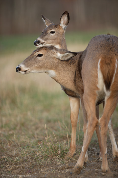Cute Whitetail Doe and Baby Picture