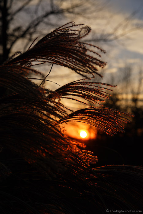Sunset Behind Maiden Grass Picture