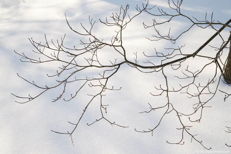 Dogwood Tree Over Snow Picture