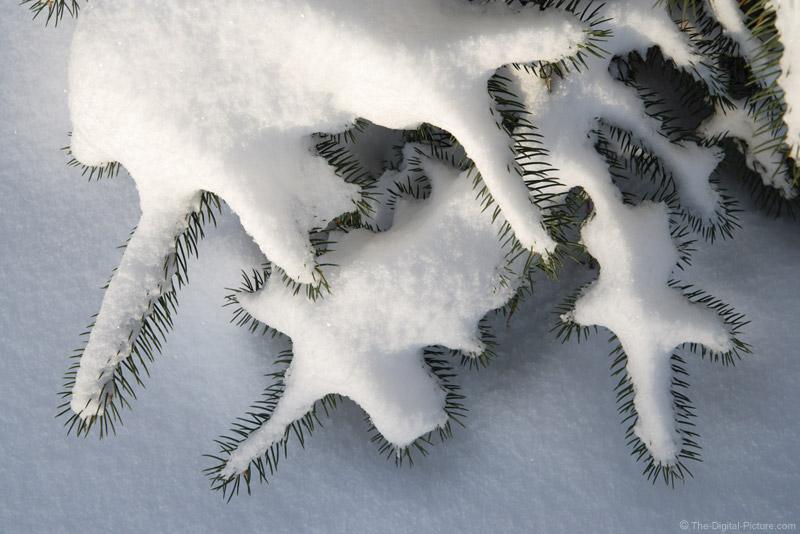 Snow-Laden Blue Spruce Tree