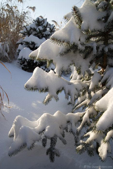 Snow on a Spruce Tree - 28mm