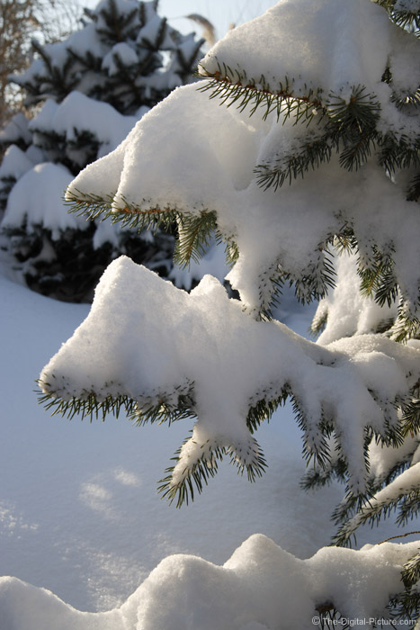 Snow on a Spruce Tree - 42mm