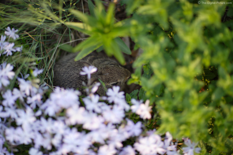 Baby Rabbit in the Phlox Picture