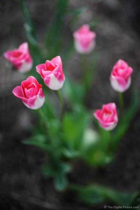 Six Tulips Picture