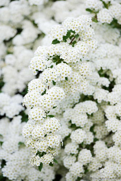 Spirea in Bloom Picture