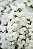 Spirea in Bloom Picture
