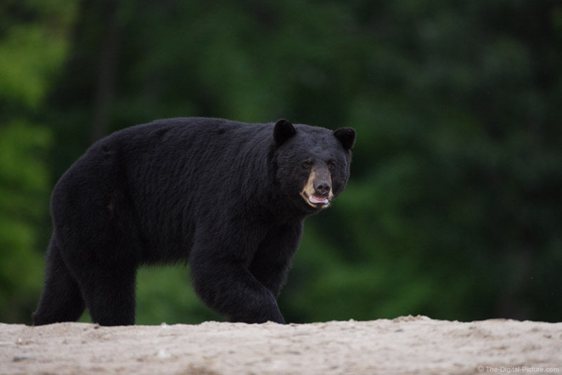 Black Bear on the Edge Picture